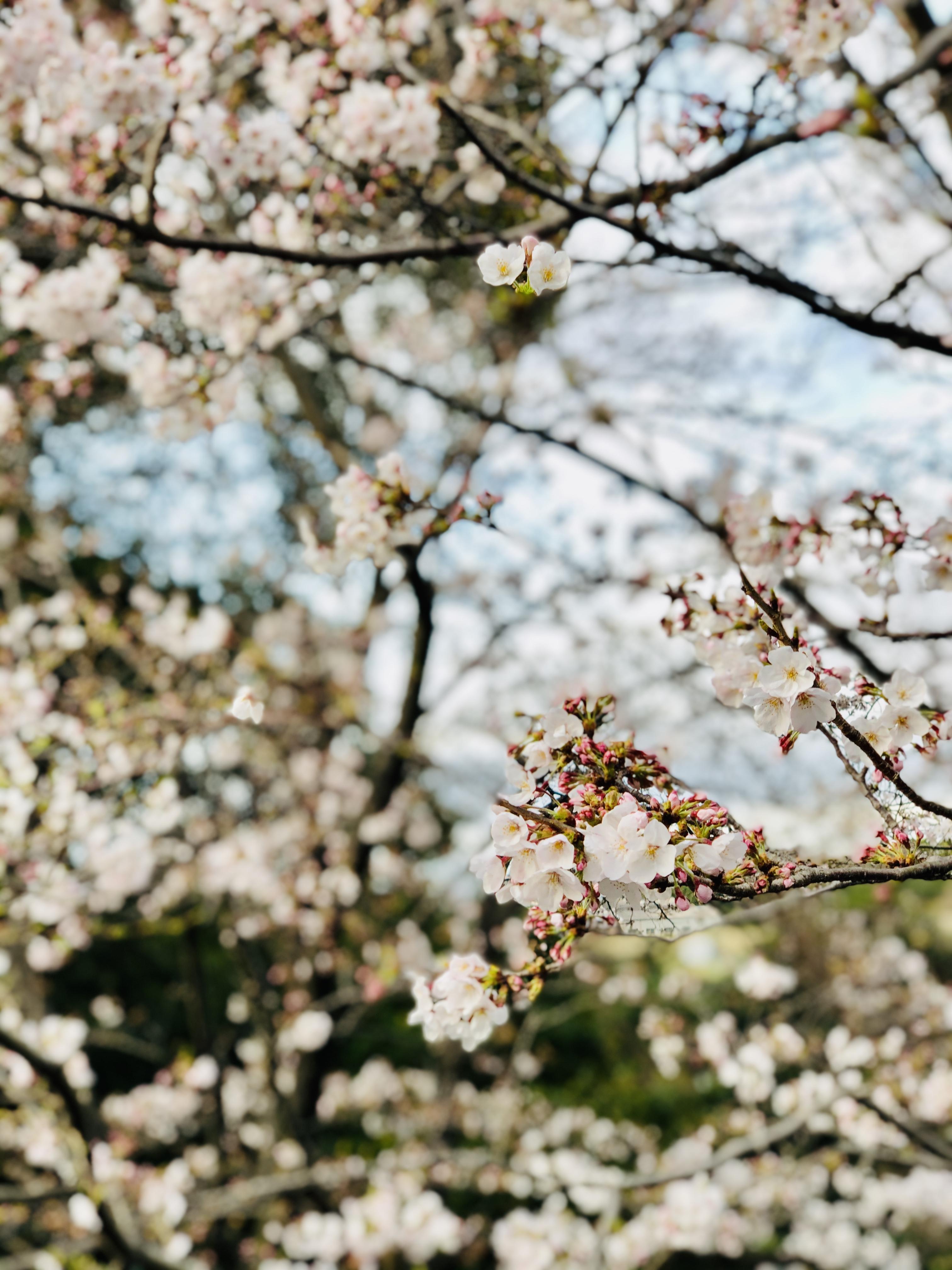 道沿いに咲く桜 イメージ